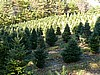 Concolor and Fraser Fir