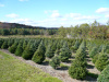 Douglas fir and Norway Spruce